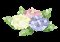 アジサイ 季節 種類