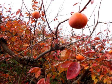 柿 紅葉 時期