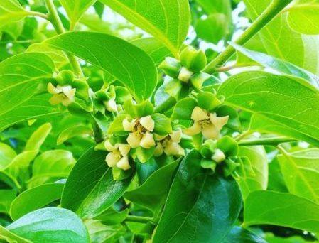 柿 時期 花