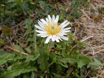 タンポポに似た花 シロバナタンポポ