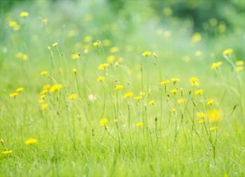 タンポポ 似た花 見分け方