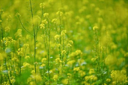 菜の花 時期