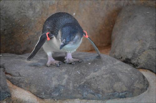長崎ペンギン水族館 コガタペンギン