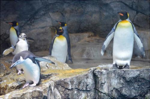 長崎ペンギン水族館 ヒゲペンギン