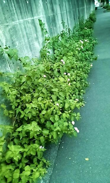 ランタナ 植えてはいけない植物